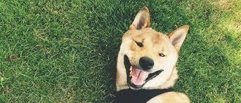 american eskimo dog rescue wichita ks midwest shiba inu rescue