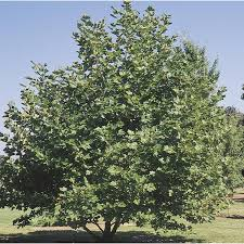 shop 92 99 gallon mexican sycamore shade tree l24202 at lowes