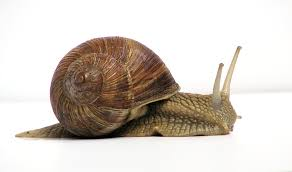 Where Can You Find Snails In Your Backyard Land Snail Wikipedia