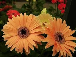 gerbera plant transvaal how to grow and care for gerbera plants garden