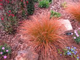 sedge orange