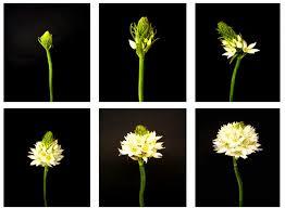 of bethlehem flower flower glossary of bethlehem proflowers
