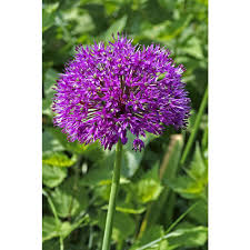 allium flowers allium flower flower bulbs garden plants flowers the home