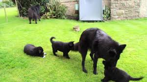 belgian sheepdog groenendael breeder groenendael puppies playing outside youtube