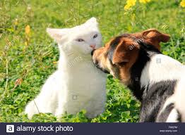 american eskimo dog jack russell mix jack russell sniffing stock photos u0026 jack russell sniffing stock