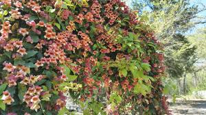 trees shrubs and vines for spring color wood county monitor