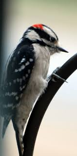 best 25 downey woodpecker ideas on pinterest