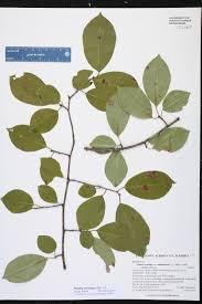 native plants of alabama prunus serotina species page isb atlas of florida plants