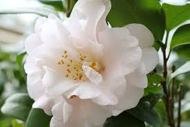 camellia flowers camellia flower meaning flower meaning