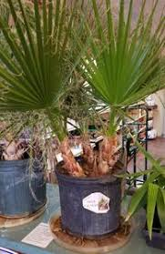 mexican fan palm growth rate mexican fan palm tree 3pk 1ft medium tres palmas gardens