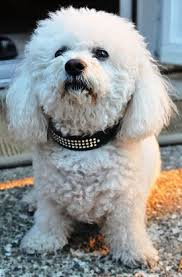bichon frise dog breeders bichon frise faq frequently asked questions