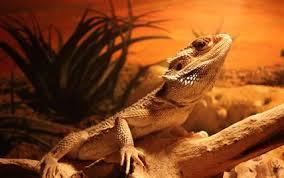 types bearded dragons bearded dragons breeding