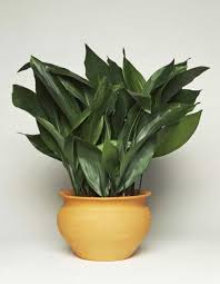 plants that don t need sunlight to grow cast iron plant in the terracotta pot stunning indoor plants