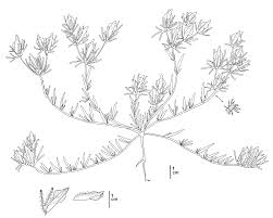 native plants of montana illustrations of rare threatened and endangered california plant