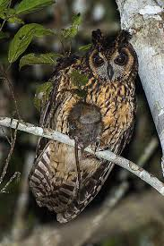 Madagascan owl