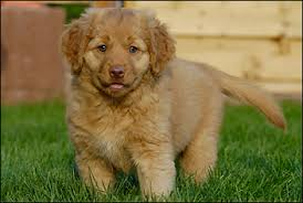 australian shepherd zucht deutschland nova scotia duck tolling retriever zucht the dreamworker kennel