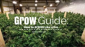 grow guide how to scrog like a pro marijuana