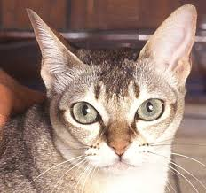 the singapura cat cat breeds encyclopedia