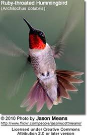 Florida Backyard Birds - hummingbirds found in florida beauty of birds