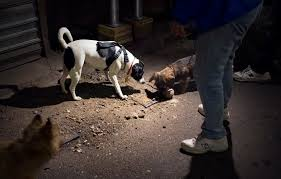 new york hunting nyc style owners set dogs on alley rats