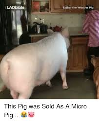 Funny Pig Memes - 25 best memes about micro pigs micro pigs memes