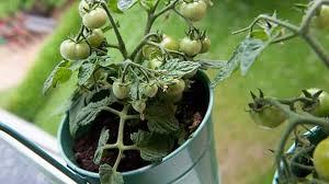 gem se pflanzen balkon gemüse anbauen im kübel was balkongemüse braucht
