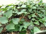 File:<b>Ipomoea batatas</b>