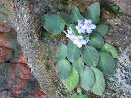 african native plants mystery of the african violet u2013 digital nomad