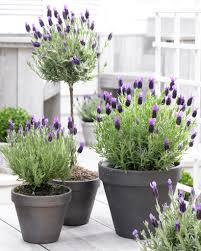 Fragrant Container Plants - lavender a treat for the senses american meadows blog