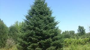 2016 official white house tree to come from oconto wluk