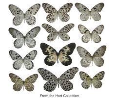 tiger butterflies butterflies