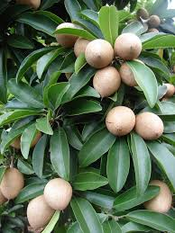 native plants of pakistan sapodilla manilkara zapota commonly known as the sapodilla is