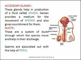 The Anatomy Of The Male Reproductive System Describe The Structure Of Male Reproductive System In Human And