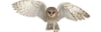 Where Do Barn Owls Live Barn Owl Owl Facts And Information