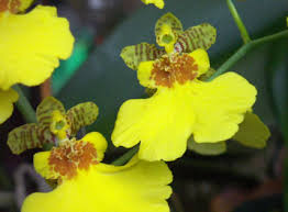 oncidium orchid about orchids basic orchid care for beginners oncidium
