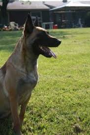 belgian malinois near me belgian malinois puppies near me puppies pinterest belgian