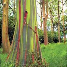 eucalyptus deglupta on emaze
