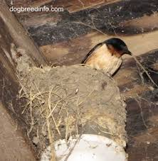 Barn Swallow Nest Pictures Barn Swallow Bird Birds In The Wild