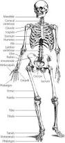Anatomy Of The Human Skeleton Top 25 Best Skeleton Body Ideas On Pinterest Body Bones Human