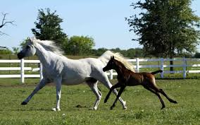 mustang horse running white horse running with brown foal