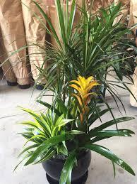 dracaena marginata flowering bromeliad u0026 warneckii lemon lime