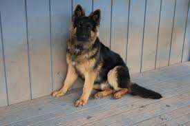 australian shepherd size at 5 months what does did your 6 month old pup weigh german shepherd dog forums