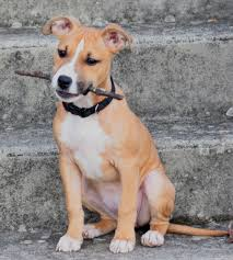 american pitbull terrier qualities the american staffordshire terrier is an intelligent happy