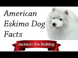 american eskimo dog intelligence american eskimo dog facts youtube