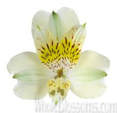 Peruvian Lily Peruvian Lilies Flowers For Sale Buy Wholesale Peruvian Lilies