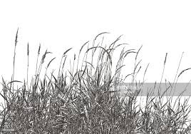 dried ornamental grass vector getty images