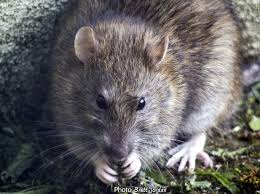 mice and rats of new york