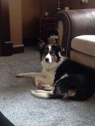 8 month australian shepherd 8 month old border collie male for sale seaham county durham