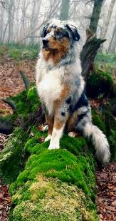 australian shepherd smart 1677 best awesome aussies images on pinterest animals