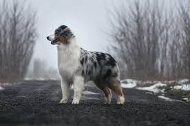 runnin c australian shepherds australian shepherd seventy seven devoted to fraytal u0027 id 18580